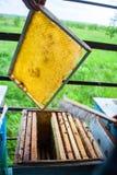 蜂蜂房的框架 收获蜂蜜的蜂农 蜂吸烟者用于在框架前镇定蜂 喻被困惑困惑 免版税图库摄影