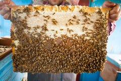 蜂蜂房的框架 收获蜂蜜的蜂农 蜂吸烟者用于在框架前镇定蜂 喻被困惑困惑 免版税库存照片
