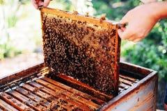 蜂蜂房的框架 收获蜂蜜的蜂农 蜂吸烟者 免版税图库摄影