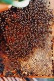 蜂蜂房的框架 收获蜂蜜的蜂农 蜂吸烟者 免版税库存图片