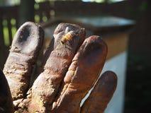 蜂蜂箱蜂蜜养蜂业手套 免版税库存图片