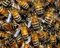 蜂蜂蜜群 免版税库存图片