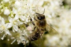 蜂蜂蜜 库存图片