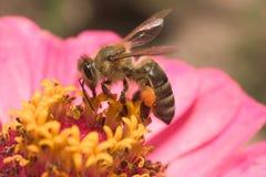 蜂蜂蜜 免版税库存照片