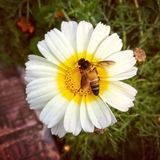 蜂蜜与花的蜂爱 图库摄影