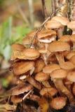 蜂蜜伞菌。 蜜环菌。 蘑菇。 免版税库存照片