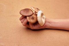 蜂蜜伞菌和蘑菇 免版税库存图片