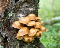 蜂蜜伞菌(Kuehneromyces mutabilis) 免版税图库摄影