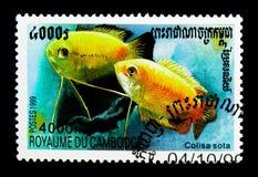蜂蜜吻口鱼Colisa sota,鱼serie,大约1999年 库存图片