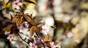 蜂蜜在桃红色开花/花前面的蜂飞行在春天的收集花蜜 免版税库存图片