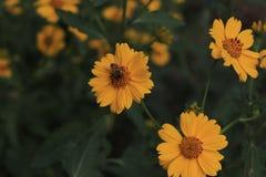 蜂蜜在黄色花 免版税库存照片