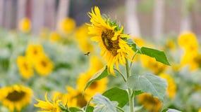 蜂蜜往向日葵的蜂飞行收集花蜜和帮助的在授粉 黄色充满活力的有机向日葵领域 免版税库存图片