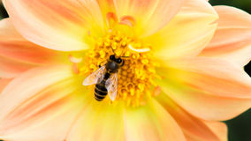 蜂蜜收藏家 免版税库存照片
