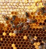 蜂蜜梳子和蜂 免版税图库摄影