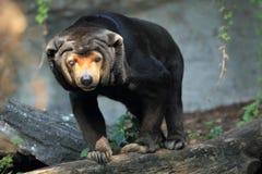 蜂蜜熊 库存照片