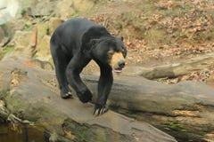 蜂蜜熊 免版税库存照片