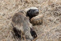 蜂蜜獾 免版税库存照片
