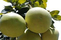 蜂蜜葡萄柚 免版税库存照片