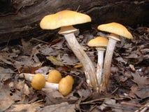 蜂蜜蘑菇 库存照片