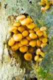 蜂蜜蘑菇 免版税库存图片