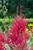 蜂蜜蜂与红色花一起使用 免版税库存图片