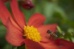 蜂蜜蜂为红色花瞄准 免版税图库摄影