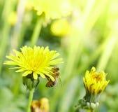 蜂蜜蜂从一朵蒲公英花收集花蜜晴朗的夏令时 免版税库存图片