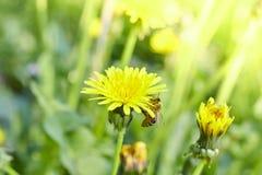 蜂蜜蜂从一朵蒲公英花收集花蜜晴朗的夏令时 免版税库存照片