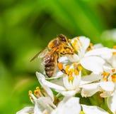 蜂蜜蜂从白花收集花粉 库存照片