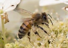 蜂蜜蜂会集花粉 库存图片