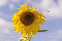 蜂蜜蜂和五颜六色的向日葵 免版税图库摄影