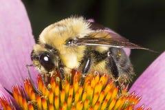 蜂蜜蜂和五颜六色的花宏指令 免版税图库摄影