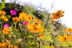 蜂蜜蜂和波斯菊在庭院里开花 免版税库存照片