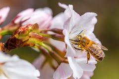 蜂蜜蜂和白花 免版税图库摄影