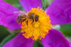 蜂蜜蜂和紫色和黄色花 免版税库存照片