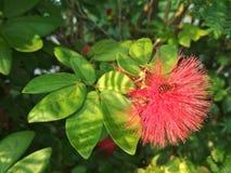 蜂蜜蜂和红色花 库存图片