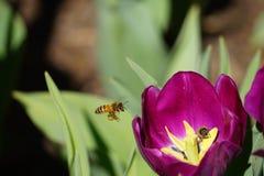 蜂蜜蜂和郁金香 免版税库存图片