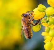 蜂蜜蜂和黄色花 免版税库存照片