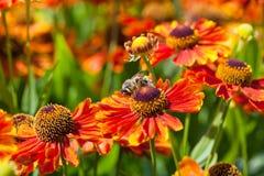 蜂蜜蜂啜饮从天人菊属植物花的花蜜 图库摄影