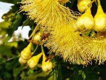 蜂蜜蜂在春天草甸授粉黄色花 免版税库存照片