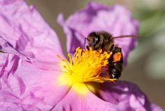 蜂蜜蜂在花宏指令细节的apis melifera 库存照片