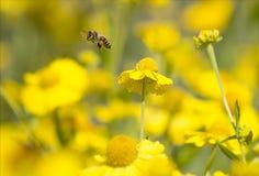 蜂蜜蜂在飞行中在黄色花,特写镜头中 免版税图库摄影