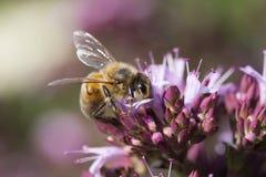 蜂蜜蜂在Oergano牛至属植物这里laevigatum `的Apis mellifera 免版税库存图片