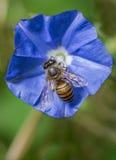 蜂蜜蜂坐一朵蓝色花 库存照片