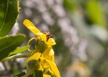 蜂蜜蜂坐偷看黄色的花户外  免版税图库摄影