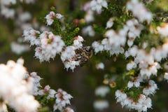 蜂蜜蜂坐埃里卡福摩萨花 图库摄影