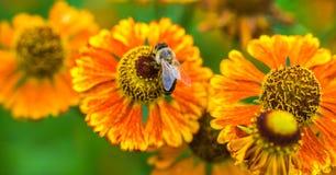 蜂蜜蜂坐花 收集花蜜的蜂 库存照片