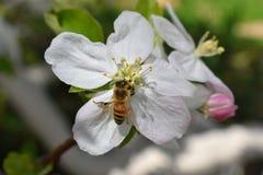 蜂蜜蜂宏指令春天,白色苹果开花花关闭,蜂收集花粉和花蜜 苹果树芽,春天backg 图库摄影