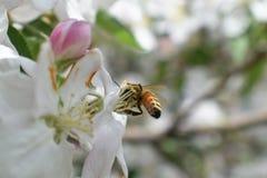 蜂蜜蜂宏指令春天,白色苹果开花花关闭,蜂收集花粉和花蜜 苹果树芽,春天backg 免版税库存照片