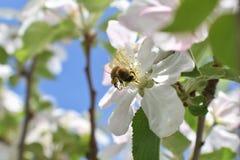 蜂蜜蜂宏指令春天,白色苹果开花花关闭,蜂收集花粉和花蜜 苹果树芽,春天backg 免版税库存图片
